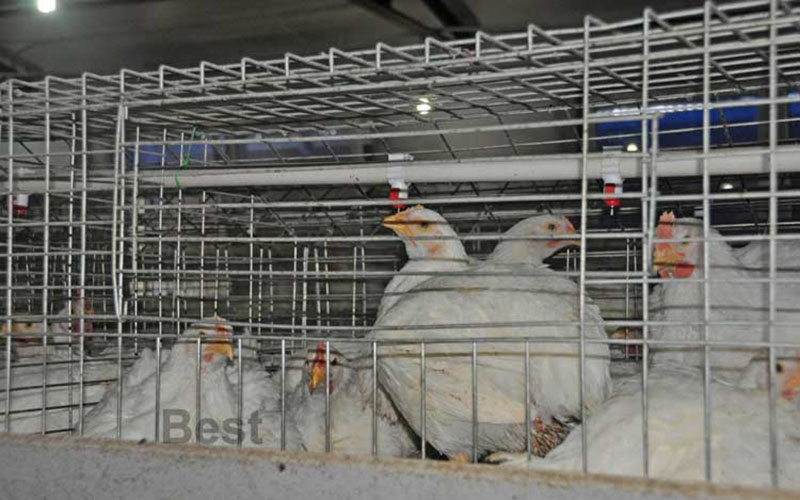 Broiler Cage Featured Image